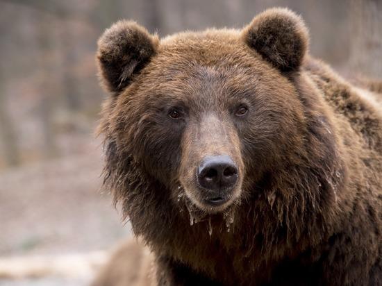 В Карелии стартует распределение квот на добычу бурого медведя