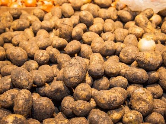 Как волгоградским дачникам защитить картошку от болезней