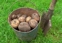 Сажать на даче в августе можно зелень, свеклу, редиску - а еще, как мы выяснили, картошку