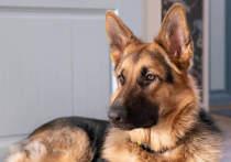 Германия: Собак бундесвера учат распознавать коронавирус по запаху