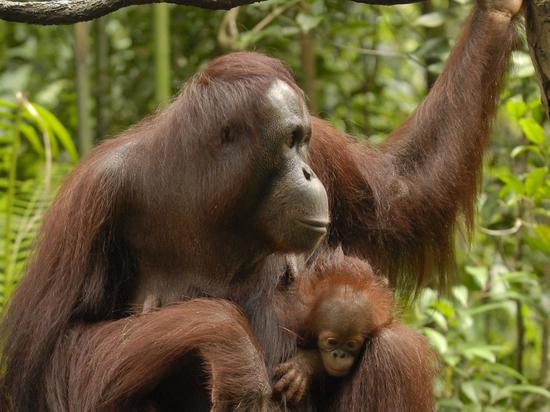 Шимпанзе впервые в истории убили детеныша гориллы