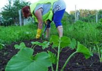 На подмосковных дачах в июле начинается страдная пора, сбор урожая овощей и с плодовых деревьев