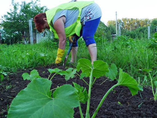 На дачах все лето можно подсаживать зеленные культуры