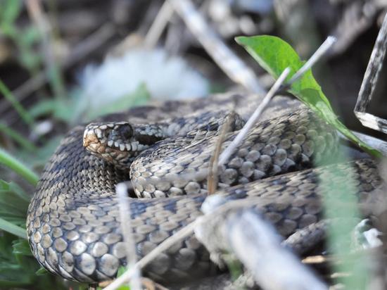 МЧС Новгородской области напомнило жителям региона правила поведения при встрече со змеей
