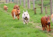 В Тынде безнадзорная свинья напугала ребенка