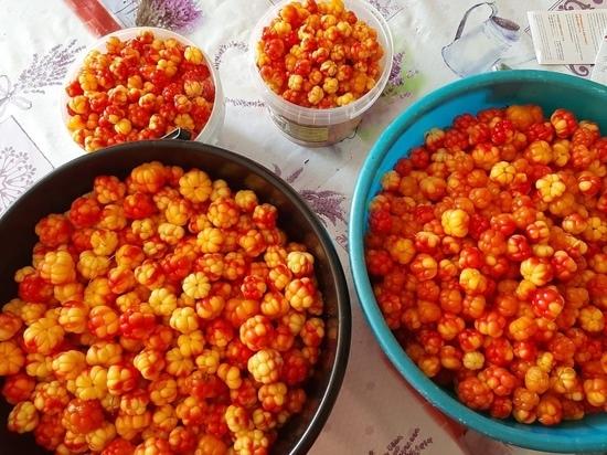 Целые ведра ягоды: жители ЯНАО хвастаются урожаем морошки
