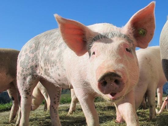 Африканская чума свиней выявлена на ферме исправительной колонии в Лысковском районе