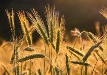 На Кубани установили исторические рекорды в уборке зерновых