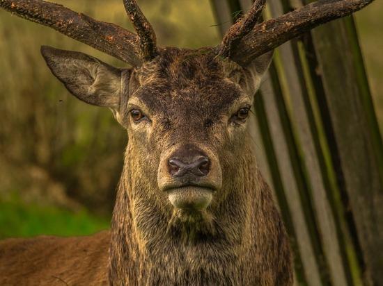 В Кадомском районе Рязанской области у оленя обнаружили пастереллез