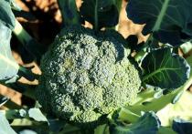 Для снижения риска инфаркта необходимо употреблять в пищу как можно больше овощей и листовой зелени
