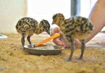 У птенцов краснокнижной дрофы, которые вылупились в неволе, могут в будущем возникнуть проблемы с размножением из-за особенностей восприятия человека
