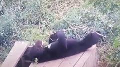 Гималайский медвежонок в Приморье соскучился и стал играть с палкой