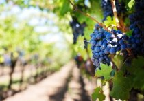 В августе на Кубани начнётся уборка винограда