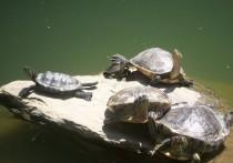 Опасное заболевание подхватила сотрудница зоомагазина, которая ухаживала за красноухими черепахами