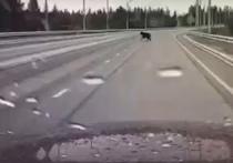 Медведь перебежал дорогу: глава Нового Уренгоя предупредил ямальцев об опасности