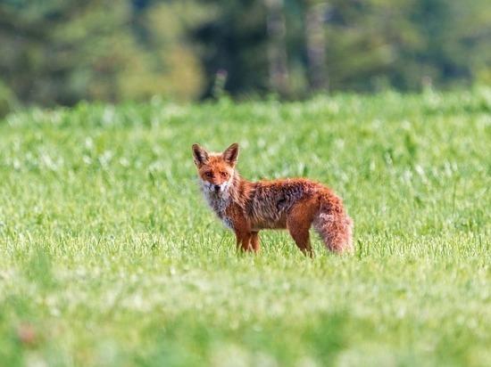 Амурских лис и волков защитят от бешенства