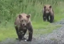 Медвежата ждут угощения от водителей близ Ноябрьска