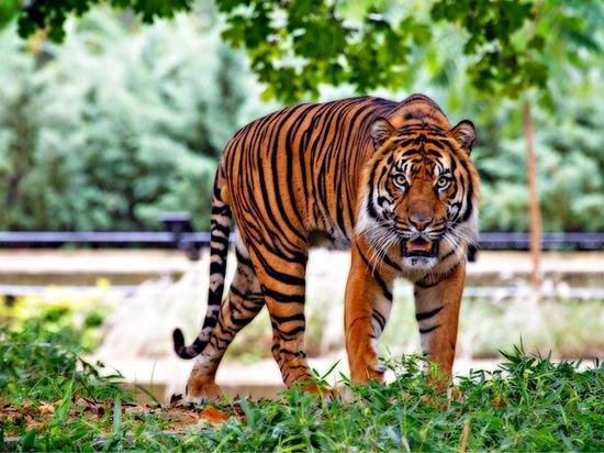 Еще одну тигрицу поселили в амурском лесу