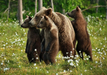 С начала 2021 года было организовано 140 проверок по сообщению, что жители региона вступали в конфликт с медведями