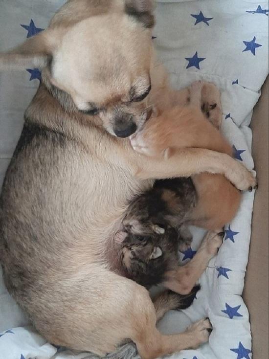 Собака усыновила трёх брошенных котят в Серпухове
