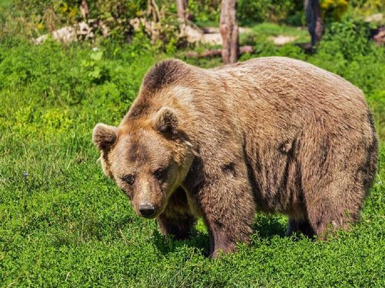 Зверь востребован у охотников: в этом году почти в 2 раза больше медведей разрешили отстрелить на Ямале