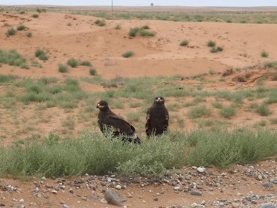 В калмыцком заповеднике наблюдают за молодыми орлами