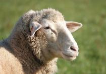 Приравнять овцу к автомобилю решил Чеховский суд Московской области
