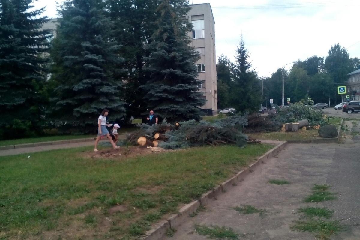 Костромские голубые ели пали жертвами светофора