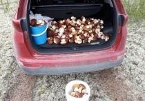 Целый багажник добычи: невероятно грибное место нашел в лесу житель Ноябрьска