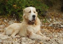 Владельца алабая в Барнауле оштрафовали на 1,5 тысячи рублей за то, что его собака укусила ребенка
