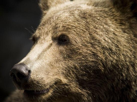 Медведь напал на мужчин в Иркутской области