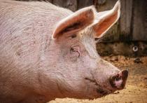 Порховичи жалуются на запах горелых костей после уничтожения заражённых свиней