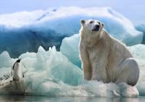 Терроризирующих тундровиков 7 белых медведей депортируют на острова на Ямале