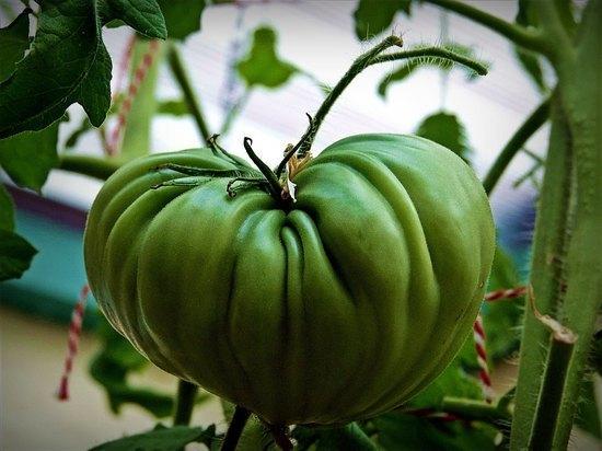 Названы 3 простых способа ускорить дозревание зеленых помидоров в домашних условиях