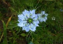 Произрастающее в Северной Африке и Западной Азии цветковое растение Nigella sativa(чернушка посевная) может быть использовано в качестве средства от коронавируса