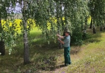 В Белгородской области завершилась заготовка семян березы