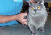 Кошки из Таиланда едва не стали заложниками в Москве стараниями алчного инспектора ветеринарного надзора в аэропорту «Шереметьево»
