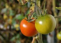 В последний месяц лета дачники начинают собирать первый урожай, но работы по уходу за растениями все еще продолжаются