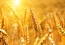 Белгородская область занимает первое место в ЦФО по урожайности пшеницы – 46 ц/га