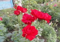Что нужно знать об уходе за розами, с чем придется столкнуться начинающему цветоводу, как избежать гибели растений - в материале «МК»