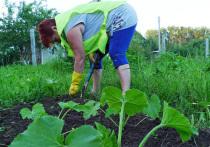 Такой способ ухода за огородом обеспечивает плодородность почвы