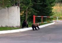 Сегодня утром «МК в Красноярске» опубликовал видео с двумя медведями, попавших в объективы камер смартфонов в Железногорске в районе КПП-4