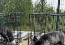 Две черные и одна белая: тремя лисами пополнился приют для животных в Салехарде