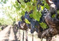 На Кубани предложили создать новый национальный винный маршрут