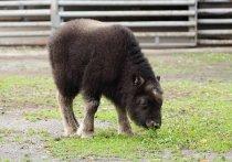 Овцебыку, родившемуся в Московском зоопарке, крупно повезло: в дикой природе шансы этих животных дожить до старости ничтожно малы