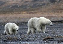 Ушли далеко от людей: выходивших к тундровикам белых медведей не будут депортировать на острова Ямала