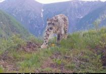 Четыре котика: в Горном Алтае обнаружили новый очаг обитания снежного барса