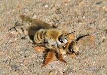 Необычную версию появления в Москве редкой мохноногой пчелы выдвинули специалисты