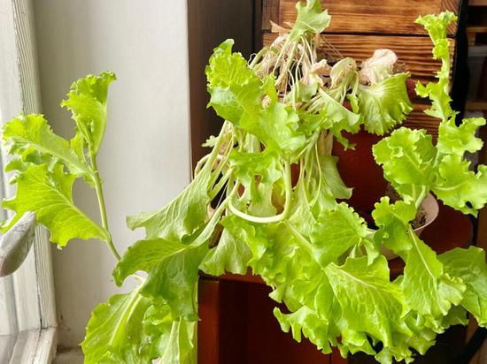 Свежие овощи для салата можно выращивать и без дачи