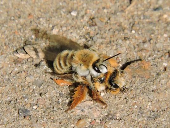 Специалисты назвали неожиданную версию появления в Москве редких пчел